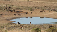 Stock Video Footage of Wildebeest and antelopes at a waterhole