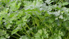 Parsley natural spice closeup move wind grow rural garden Stock Footage