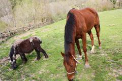 horse and breeding, eating - stock photo