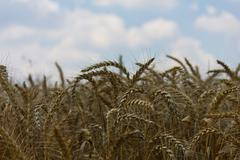wheat with blue cloudy sky - stock photo