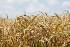 Wheat with blue cloudy sky Stock Photos