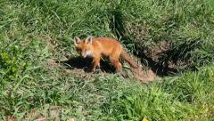 Fox kit 1 Stock Footage