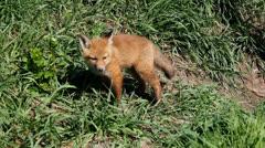 Fox kit 2 Stock Footage