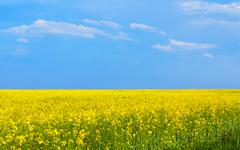 Flowering rapeseed field, minimalism style Stock Photos