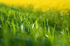 Stock Photo of juicy green grass, backlit