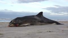 Dead dolphin/whale on the beach3 Stock Footage