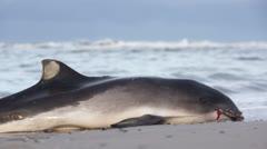 Dead dolphin/whale on the beach Stock Footage