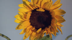 Psychotic sunflower Stock Footage