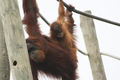 Orangutans playing Stock Photos