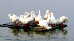Herd of white duck in the pond Stock Footage