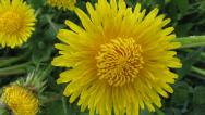 Stock Video Footage of Flower dandelion opening blossom - timelapse video