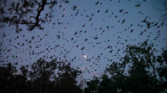 Flying foxes night sky flying Stock Footage