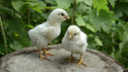 Two baby chickens on a stump Stock Footage