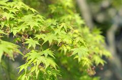 Bright green maple leaves in the Lion Grove Garden, Suzhou, China - stock photo