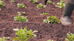 Potato in a kitchen garden to weed Stock Footage