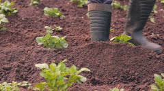 Potato in a kitchen garden to weed to hill, loosen, a rake Stock Footage