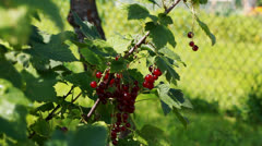 Hand near red currant bush Stock Footage