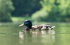 Swimming duck on the lake - stock photo