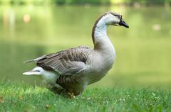 white and brown goose in green - stock photo