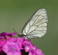 White butterfly on a flower - stock photo