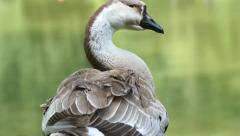 White and brown goose Stock Footage