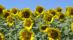 Sunflower field - stock footage