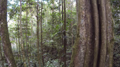 Tracking up the trunk of a large buttressed rainforest tree with fluted trunk Stock Footage