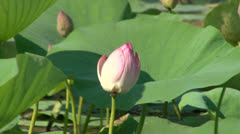 Green leaves and pink lilies Stock Footage