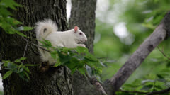 White Squirrel - stock footage