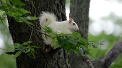 White Squirrel Stock Footage