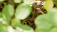 A lizard in a dry leaf Stock Footage