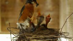 Stock Video Footage of Robin Bird Feeding Chicks in Nest Fly 1080p