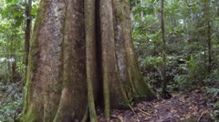 Tracking up the trunk of a giant rainforest tree in the Ecuadorian Amazon. Stock Footage