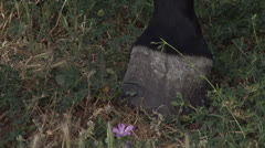 Horse hoof on the grass Stock Footage