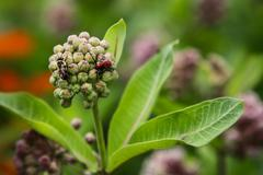 Honey Bee and Red Beetle share Milkweed Flower Buds - stock photo