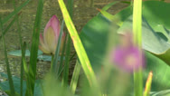 Pink Lily Bud Stock Footage