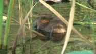 Water rat in a pond Stock Footage