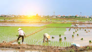 Stock Video Footage of Farmers grown rice in the field