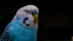 Stock Video Footage of Talking Blue Parakeet Parrot Bird Budgerigar