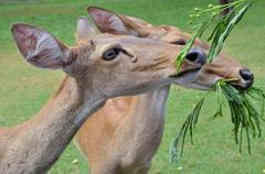 antelopes feeding - stock photo