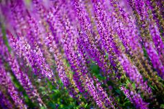 Violet flower background from salvia nemorosa Stock Photos