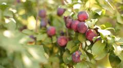 Mirabelle Plums or Prunes Stock Footage