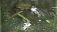 Stock Video Footage of Two frogs  in a pond