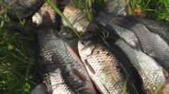 Fishing catch. Alive crucians lie on grass Stock Footage