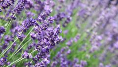 Lavender flowers with bee Stock Footage