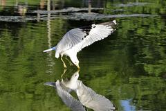 Seagull Reflex - stock photo