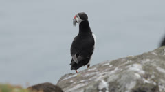 Puffin with sand eels in its beak, Isle of May, Scotland. Stock Footage