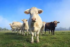 herd of young white cows - stock photo