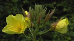 Time lapse evening primrose opening 4 blooms  closeup Stock Footage
