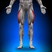 Vastus Lateralis - Anatomy Muscles - stock photo